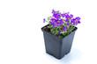 Aubrieta home cultivated with purple flowers in a dark black pot