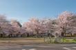 Japanese spring scenic with cherry blossom, Arashiyama, Kyoto, Japan