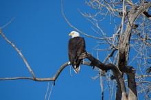 Bald Eagle Perched Profile View