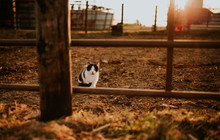 Farm Cat In The Morning