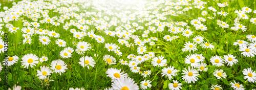 In de dag Madeliefjes Gänseblümchen, Blumenwiese im Sommer, Banner