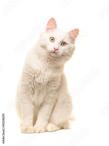 White sitting turkish angora cat sitting and leaning forward to look in the came Wallpaper Mural