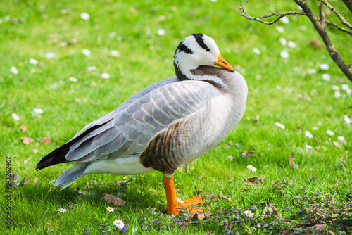 Bar-headed Goose, Anser indicus, goose on the lawn in springtime