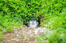 Wildlife Of Little Blue Pengui...