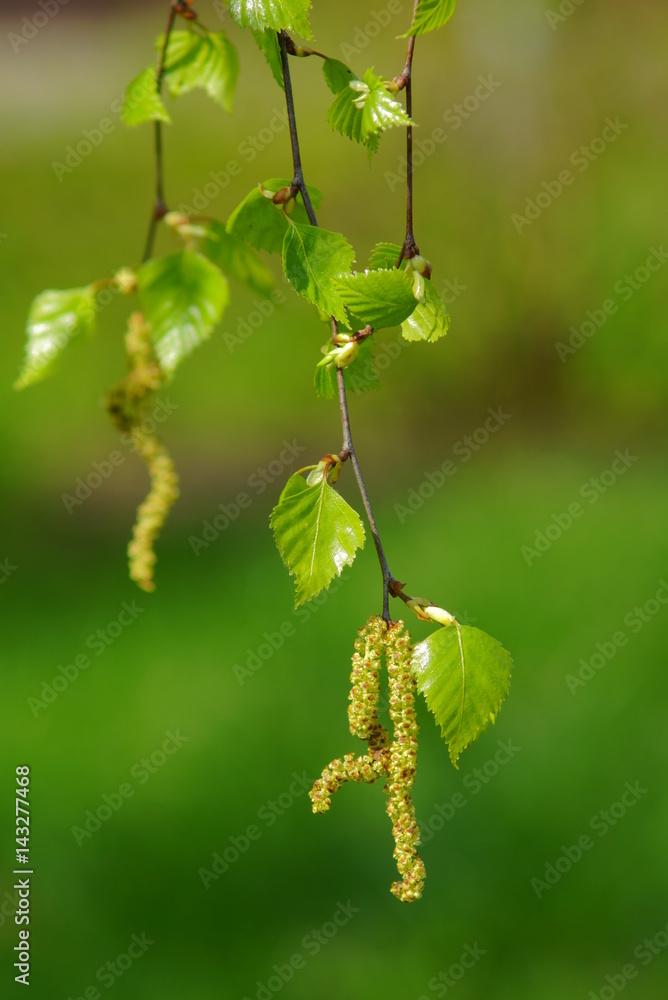 Spring birch leaves, spring background