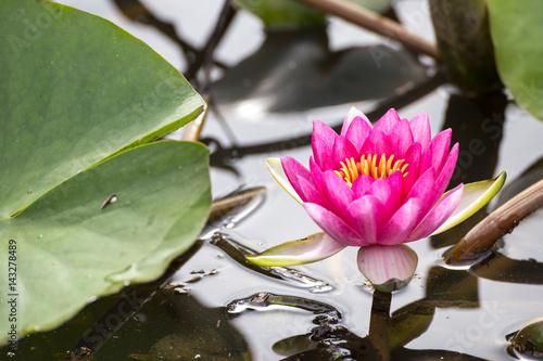 Deurstickers Waterlelies 睡蓮の花