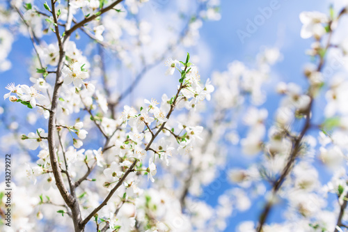 Blooming tree with white flowers in garden and sky. Spring background.
