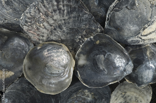 black oyster shell at the beach, the Netherlands