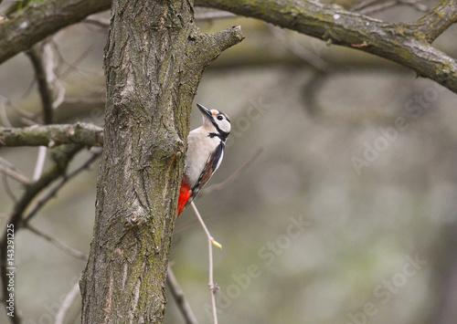 Fotografie, Obraz  Picchio rosso maggiore che si arrammpica sul tronco dell'albero nel bosco