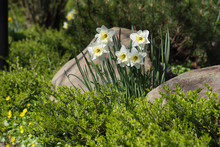 White Daffodils In A Bed With ...