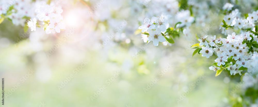 Fototapeta Cherry blossoms in spring