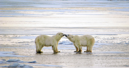 Obraz na Szkle Zwierzęta Polar Bears Greeting, Churchill, Manitoba, Canada