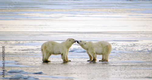 Fotobehang Ijsbeer Polar Bears Greeting, Churchill, Manitoba, Canada