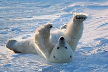 Polar Bear Awakens And Stretch...