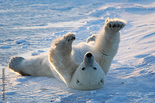 In de dag Ijsbeer Polar bear awakens and stretches in Churchill, Manitoba, Canada