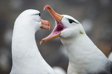 Black-browed Albatross Greetin...