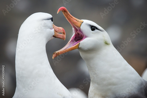 Valokuva  Black-browed Albatross Greeting, Falkland Islands