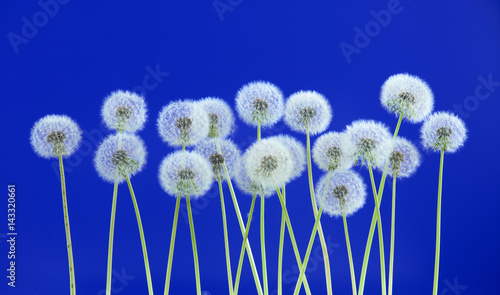 Spoed Foto op Canvas Violet Dandelion flower on blue color background, group objects on blank space backdrop, nature and spring season concept.