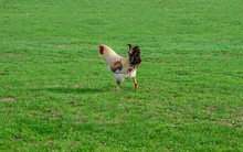 Rooster On Green Grass Meadow