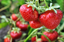 Close-up Of Ripe Strawberry I...