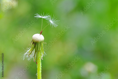 Keuken foto achterwand Paardenbloem Dandelion with seeds blowing away in the wind. Dandelion seeds in nature on green background