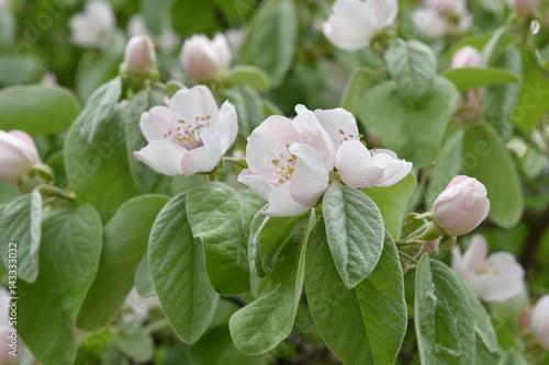 Fotomural Cognassier en fleurs au printemps au jardin