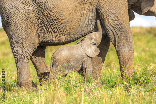 Garden Poster Rhino Baby elephant suckles mom