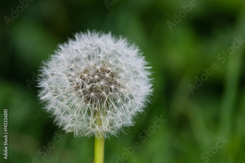 Close up of dandelion seed head clock