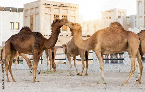 Kamele am Kamel Markt des Souq Waqif in Doha, Katar