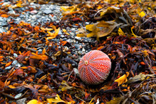 Sea Urchin In The Surf On Algae And Pebbles