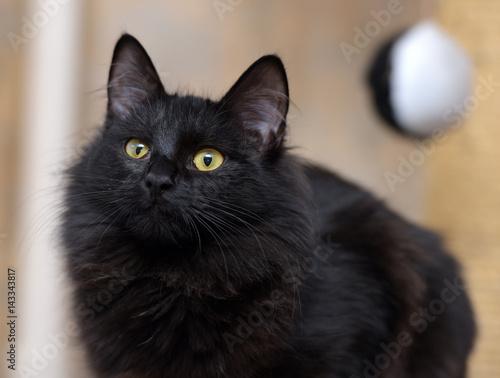 In de dag Panter Black Siberian cat
