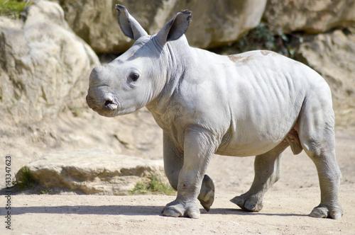 Fototapeta premium Small rhinoceros on a rock background