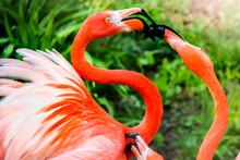 Fighting Flamingo