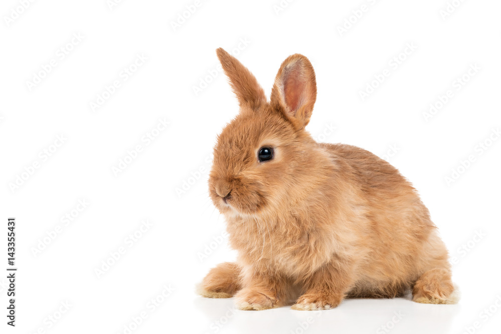 Portrait of beautiful red-haired rabbit sitting isolated on white background