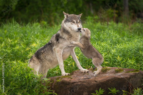 Grey Wolf (Canis lupus) Pup Jumps Up on Adult
