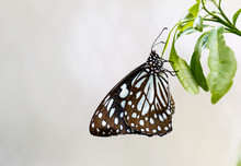 Beautiful Isolated Brown And White Butterfly On Green Leaf