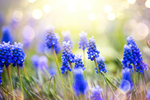 Spring Muscari Hyacinth Flower...