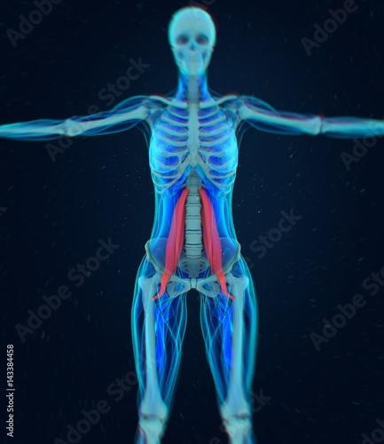 Fotografie, Tablou  Female psoas muscle