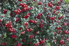 Cotoneaster Red Fruits In Garden