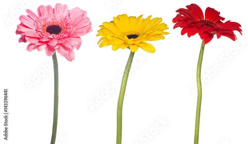 Fotobehang Gerbera set of gerbera flowers isolated on white