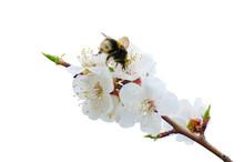 Cherry Blossoms White