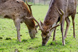 Sikawild - sika deer - cervus nippon