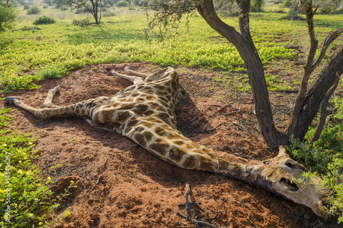 Papiers peints Girafe Dead South African giraffe or Cape giraffe (Giraffa giraffa giraffa). Northern Cape. South Africa.
