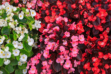 Three Colors Of Fibrous Begonias From A Top Down View.