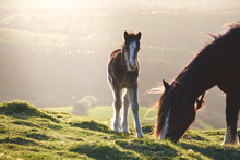 Little Wild Pony, Brecon Beacons National Park