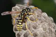 A Wasp In Its Neast