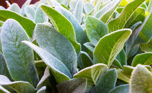 Herb Lambs Ear. A Beautiful Perennial Herbaceous Plant With Velvet Leaves.
