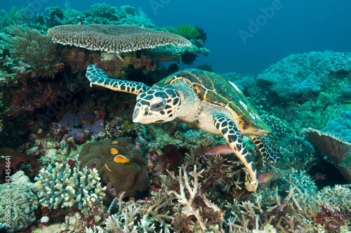 Foto op Canvas Duiken Hawksbill turtle, Eretmochelys imbricata, Raja Ampat Indonesia