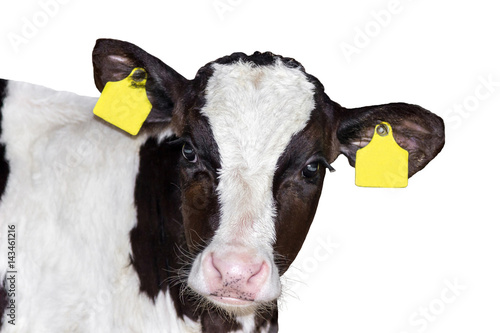 Fotografia calf (bull) isolated on white background