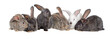 canvas print picture - Group of rabbits, Flemish Giant is a breed of domestic rabbit on white background. A series of images